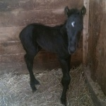 "FINALLY GOT MY IRON ""Henry""- Colt out of Pines CC Miss Shanay (Owner:  Mylene Mayer of Canada)"