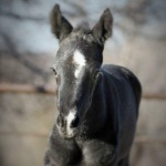 "THESE IRONS ARE BLUE ""Balloo"" - Colt out of Captivating N Blue (Owner: Brooke Victoria Ingstad)"
